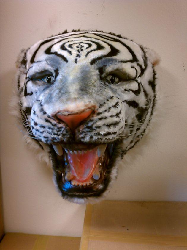 LIFE SIZE White Tiger Head Wall Mount Taxidermy Teeth